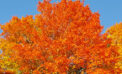 How trees produce spectacular autumn colours