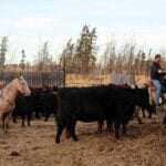 Jesse Emery (right) herds cattle on his Barrhead-area farm